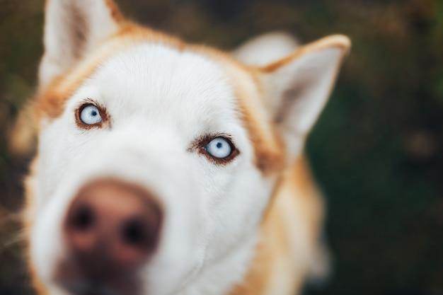 Rode siberische husky dog snout, sluit omhoog het macroschot van de meningsneus