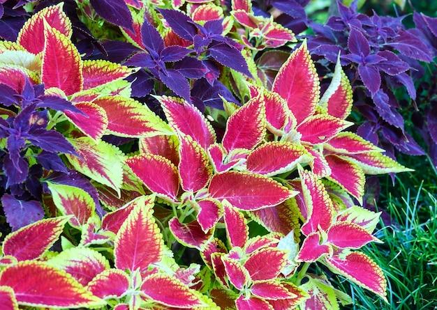 Rode siernetel en paarse plant close-up