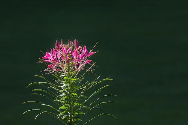 Rode stekelige spiderflower in een tuin