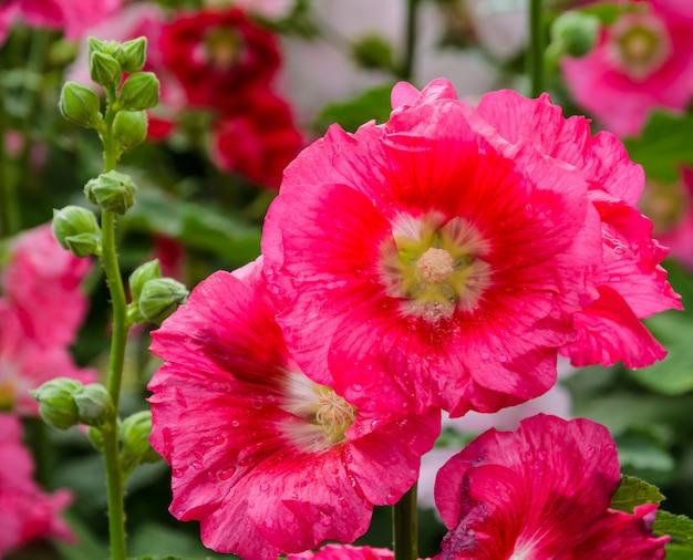 Rode stokroos bloem bloossom