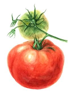 Rode tomaat tak vintage aquarel botanische illustratie
