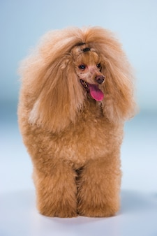 Rode toy poodle-puppy