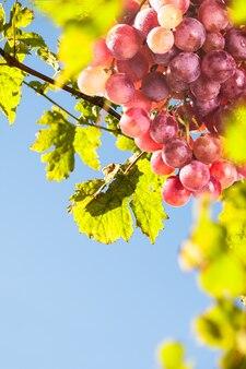 Rode tros druiven in tegenlicht