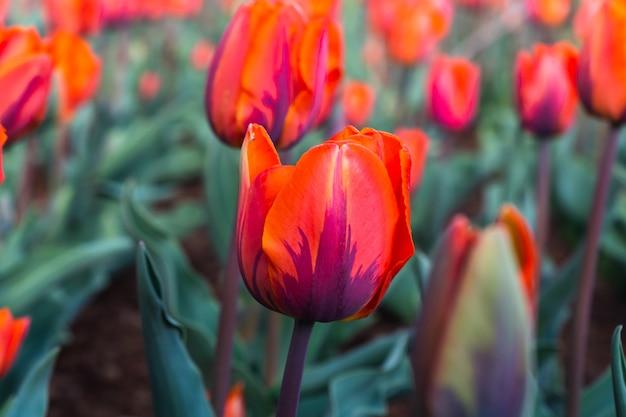 Rode tulp bloemen in de tuin