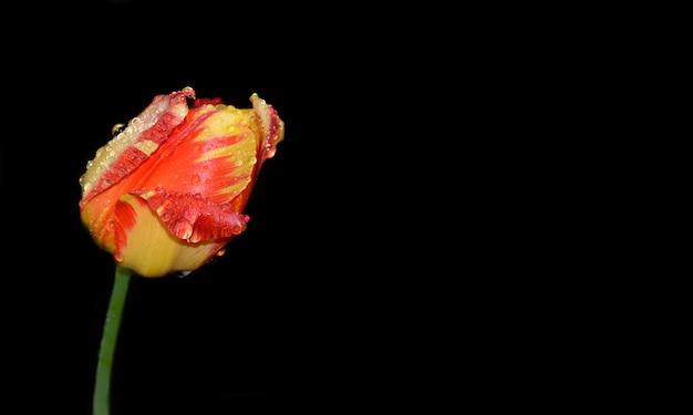 Rode tulp met regendruppels op zwarte achtergrond