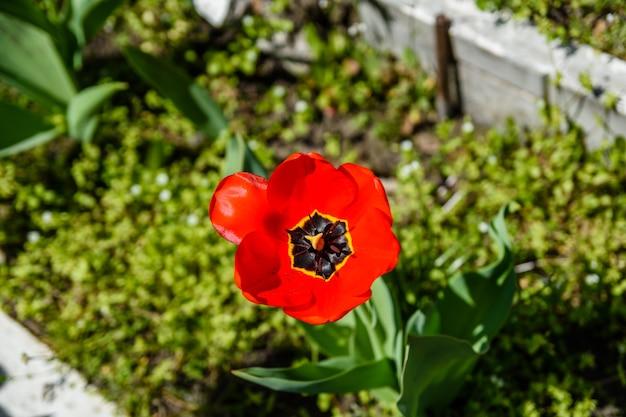 Rode tulp op een bloembed in stadspark
