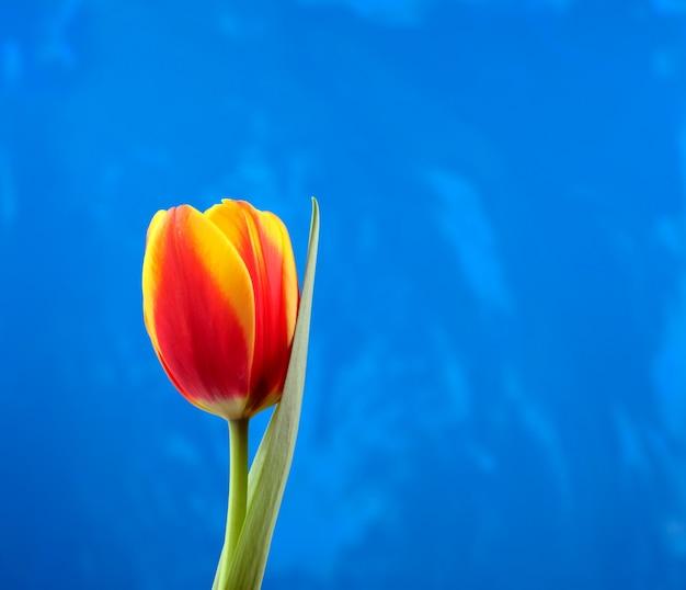 Rode tulp tegen blauwe grungeachtergrond.