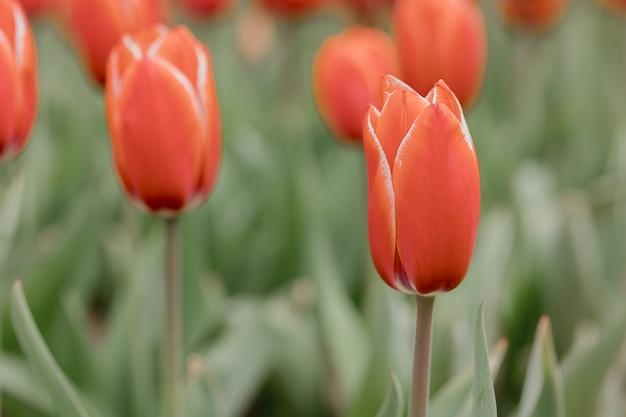 Rode tulpen die het lenteseizoen vertegenwoordigen. boerderij van tulpen.