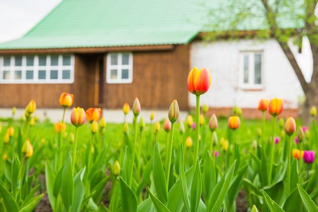Rode tulpen in de tuin op achtergrond van bruin blokhuis