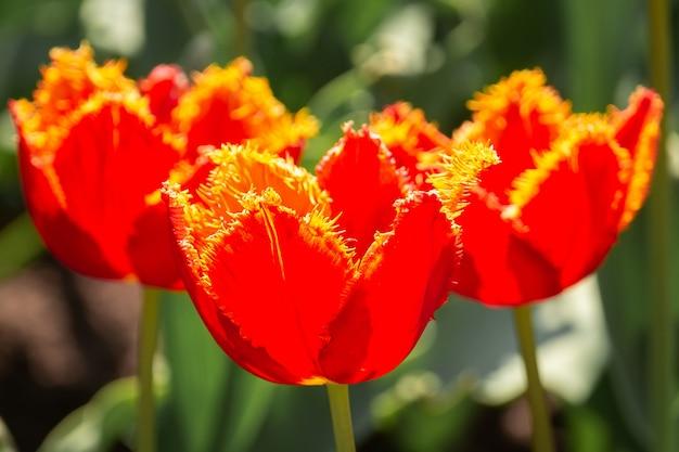 Rode tulpen in de tuin