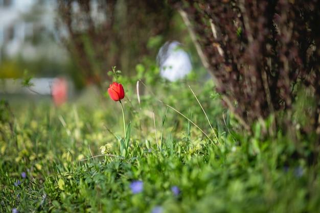 Rode tulpen in het gras
