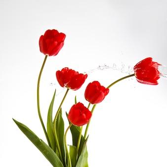 Rode tulpen met water spatten op geïsoleerde witte achtergrond.