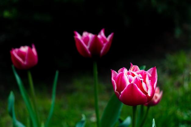 Rode tulpen op een achtergrond van groene bladeren en bruine grond