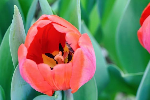 Rode tulpen op een bloemgebied