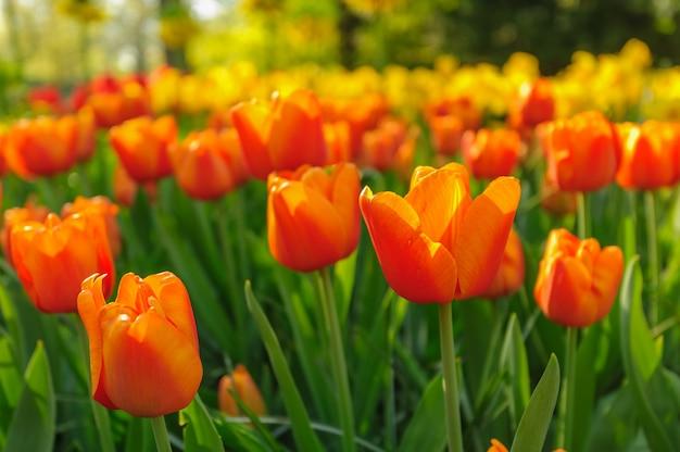 Rode tulpen van nederland in de stralen van de zonsondergang