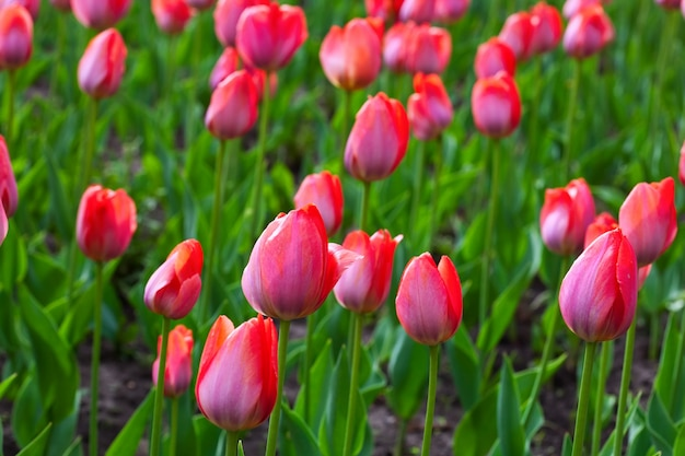 Rode tulpen veld