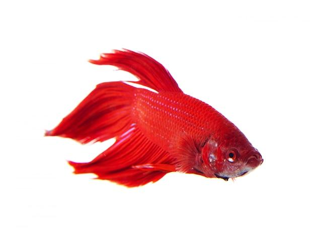 Rode vechten vis op wit
