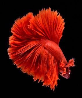 Rode vechtende vis.