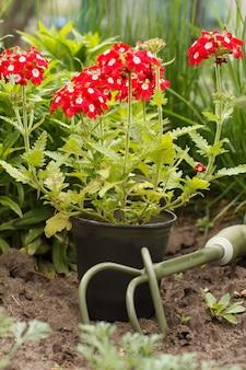 Rode verbena bloeit in een plastic pot in de tuin. verbena bloemen en handhark met groen gras op de achtergrond. mooie bloeiende verbena.