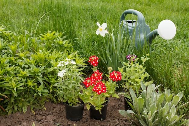 Rode verbena bloemen en gieter in een tuinbed met groen gras op de achtergrond.