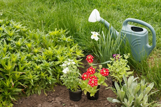 Rode verbena bloemen en gieter in een tuinbed.