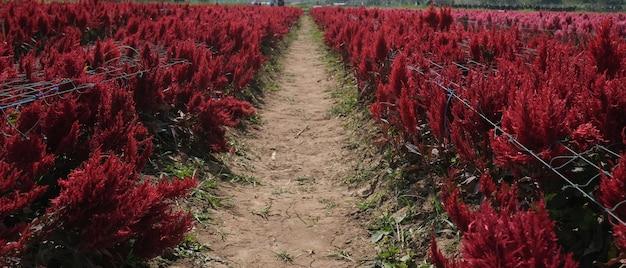Rode veren hanekam bloemen bloeien in het veld.
