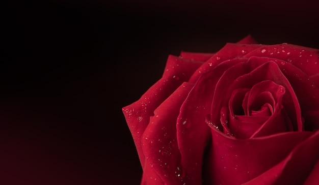 Rode verse roos met druppel op bloemblaadje. bloemsymbool van liefde en valentijnsdag. close-up shot en donkere toon