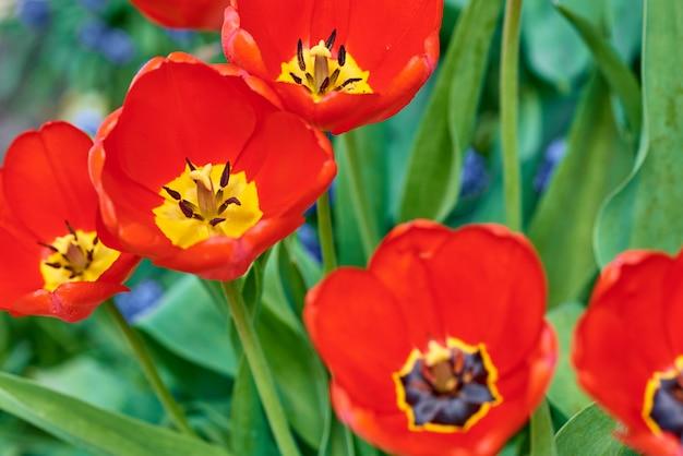 Rode verse tulpen die in de tuin bloeien