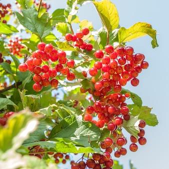 Rode viburnum-bessen in zonnige dag in tuin op hemelachtergrond