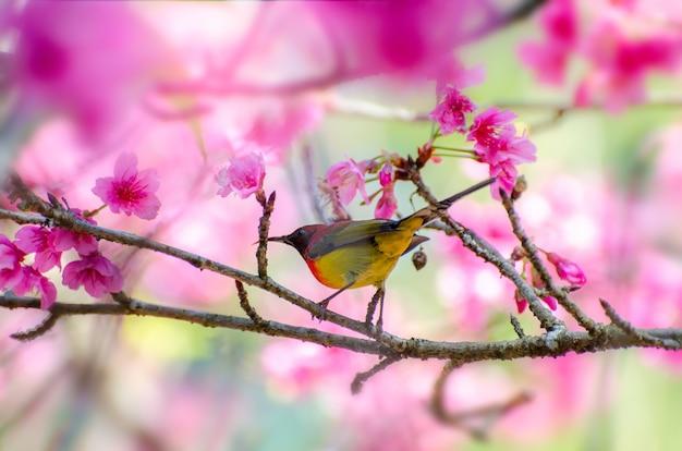 Rode vogel blauwe achtergrond neergestreken op de takken sakura