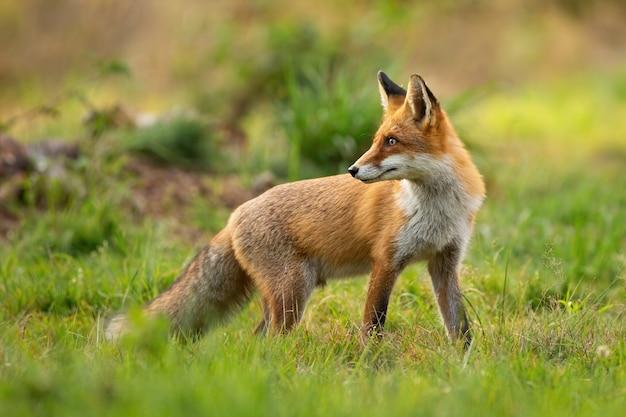 Rode vos die erachter over schouder zonsondergang in de zomer bekijkt