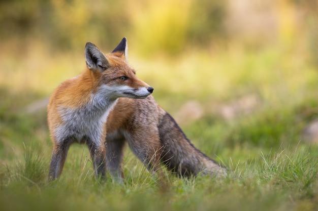Rode vos die zich in gras tijdens de zomer bevindt.