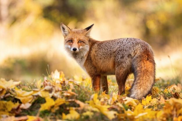 Rode vos die zich op oranje gebladerte in de herfstaard bevindt.