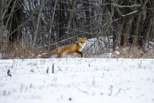 Rode vos in een bos van de winter