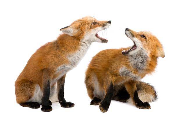 Rode vos, vulpes vulpes, die op wit wordt geïsoleerd