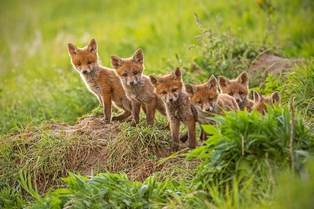 Rode vos, vulpes vulpes, kleine jonge welpen in de buurt van den nieuwsgierig toekijkend