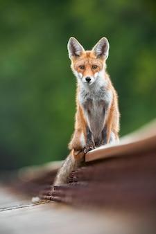 Rode vos zittend op spoor in de zomer