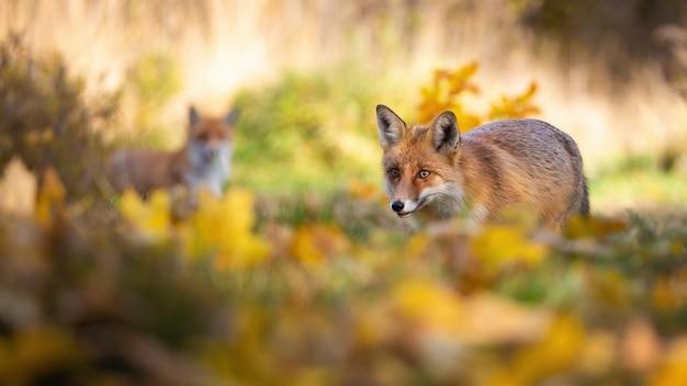 Rode vosjacht in de herfstbos met een andere op achtergrond