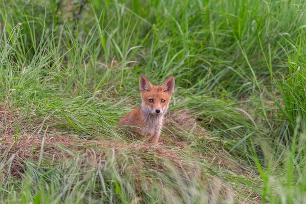 Rode voswelp vulpes vulpes in het wild.
