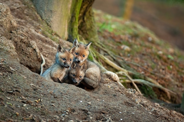 Rode voswelpen die de omgeving van hun hol in de lentebos verkennen.