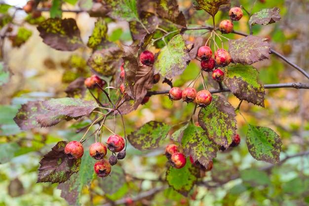 Rode vruchten van meidoorn. gele bladeren