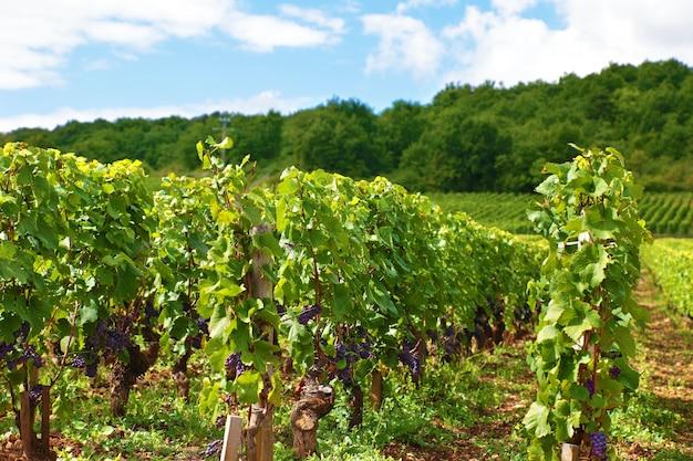 Rode wijn wijngaard in frankrijk