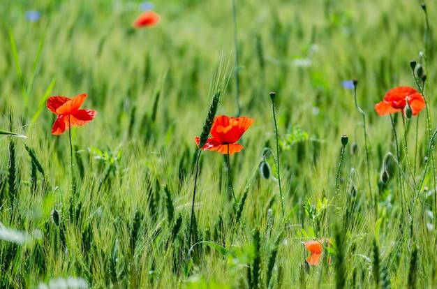 Rode wilde papavers in een tarweveld