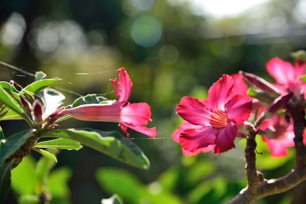 Rode woestijn roos in de natuur op groene achtergrond