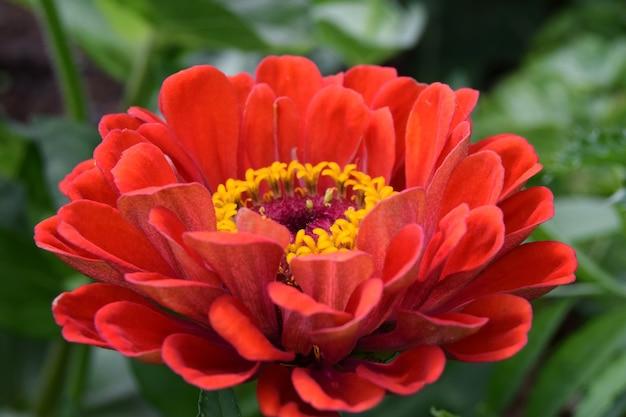Rode zinnia bloem close-up van een teken van liefde en romantiek. een bloem voor een eerste date die eruitziet als een madeliefje.