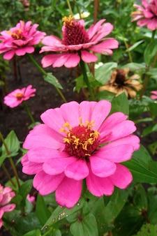 Rode zinnia-bloem
