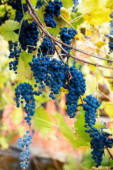 Rode zwarte trossen izabella-druiven die groeien in de wijngaard met een wazige achtergrond en kopieerruimte oogsten in het wijngaardenconcept.