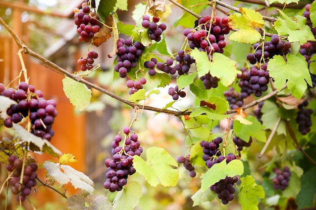 Rode zwarte trossen pinot noir-druiven die in de wijngaard groeien met een wazige achtergrond en kopieerruimte oogsten in het wijngaardenconcept.