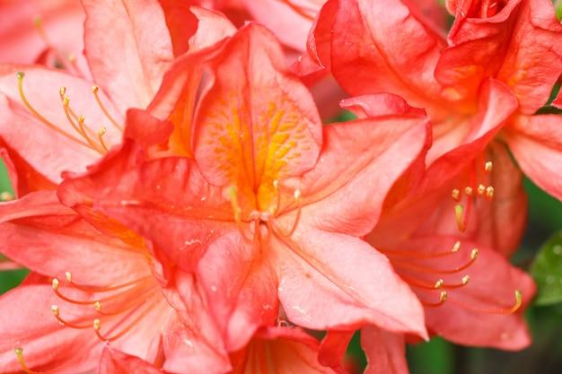 Rododendron (azalea) bloemen van verschillende kleuren in de lentetuin
