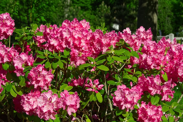 Rododendron bloeiende bloemen in de lentetuin. pacific rododendron of california rosebay groenblijvende struik. mooie roze rhododendron close-up